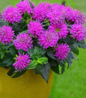 """Монарда """"Purple Lace"""""""