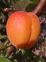 Саженцы абрикоса Полиплоид