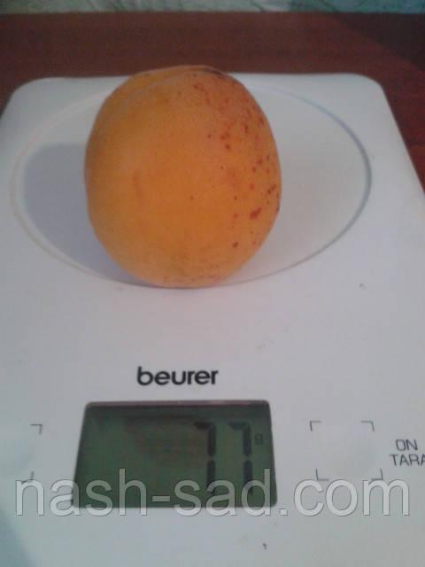 Саженцы абрикоса Харроу Джой ( Канада )
