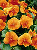 Семена  Виола Витрокка Оранж Сан  0,1 грамма  Агропак