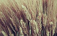 Озима пшениця Нива Одеська елита