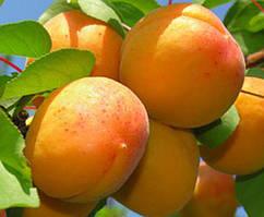 Саженцы абрикоса раннего Наслаждение
