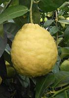 Лимон «Киевский крупноплодный»