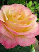 Саджанці чайно-гібридних троянд