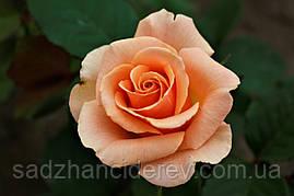 Саджанці троянд Версілія (Версилия, Versilia)