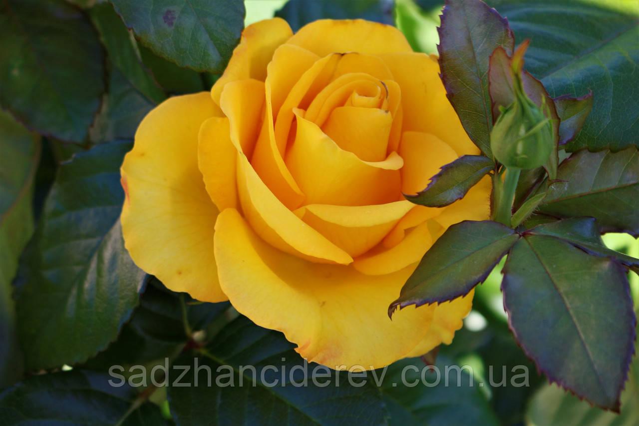 Саджанці троянд Керн (Kern, Керіо)