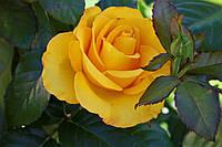 Саджанці троянд Керн (Kern, Керіо), фото 1