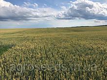 Семена озимой пшеницы Богдана, репродукция