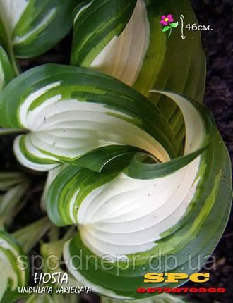Хоста Undulata Mediovariegata, фото 2