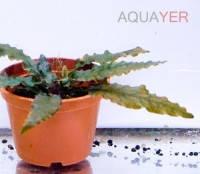 Криптокорина беккета петча (Cryptocoryne beckettii petchii) AQUAYER в питательном грунте, 1-2 куста с дочерними кустами