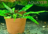 Криптокорина Вендта нана (Cryptocoryne wendtii nana) AQUAYER в питательном грунте, порция из 1-2 кустов с дочерними кустами
