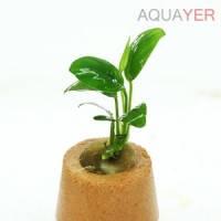 Анубиас бартера нана (Anubias barteri var. nana)  AQUAYER, 5-6 листов
