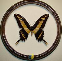 Сувенир - Бабочка в рамке Papilio thoas. Оригинальный и неповторимый подарок!