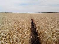 Пшеница озимая (мягкая) Мудрость Одесская (элита)