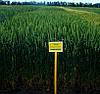 Пшеница озимая (мягкая) Подолянка (элита, безостая)