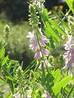 Галега лекарственная трава