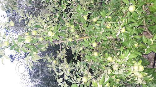 Яблоки летние.Белый налив, Мелба.Опт