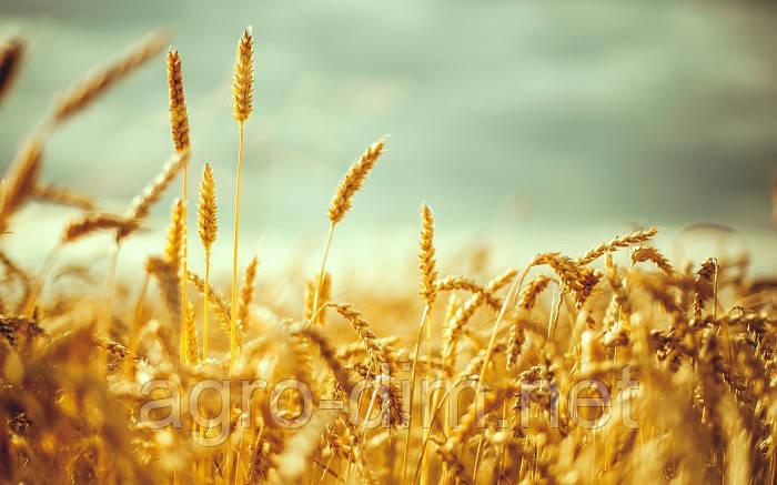 Пшеница озимая Эпоха Одесская Элита