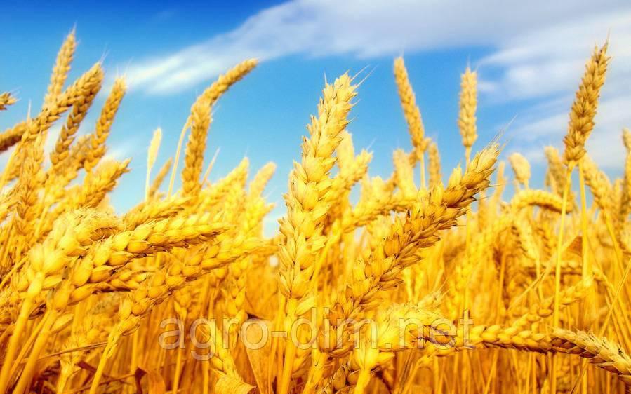 """Семена озимой пшеницы """"Благодарка Одеська"""", элита"""