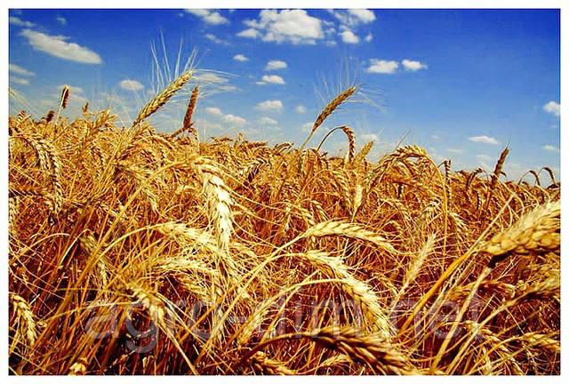 Пшеница озимая Зыск (элита)