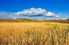 """Семена озимой пшеницы """"ГУРТ"""" (Элита) , фото 2"""