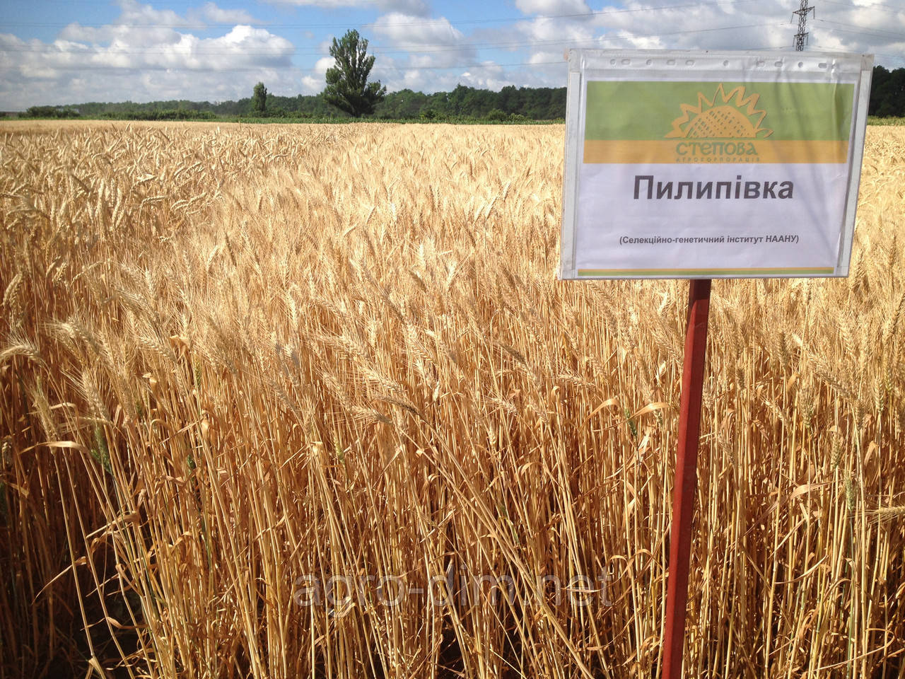 Семена озимой пшеницы Пилиповка (Элита)