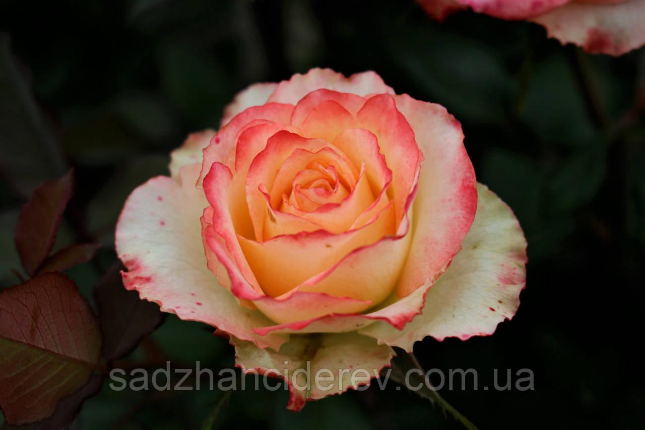 Саджанці троянд Дует (Duett, Дуэт)