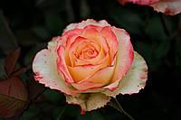 Саджанці троянд Дует (Duett, Дуэт), фото 1