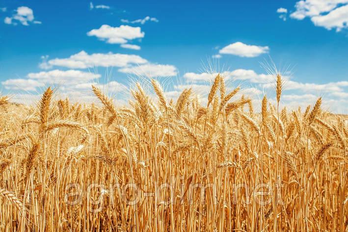Семена озимой пшеницы Шестопаловка, фото 2