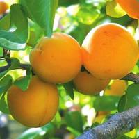 Саженцы абрикоса раннего Зоряный