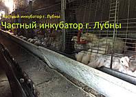 Цыплята бройлера КОББ 500 подрощенные