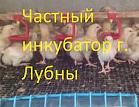 Цыпленок бройлера КОББ 500