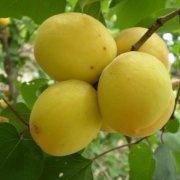 Саженцы абрикоса позднего Шалах (Ананасный)