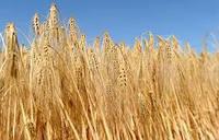 Озимый ячмень Луран семена  Чехия (1-я репродукция)
