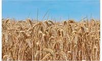 Озимая пшеница Чорнява, семена (1-я репродукция), урожай 2018 года