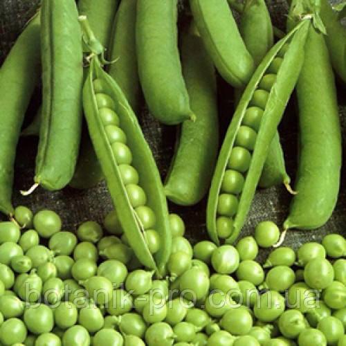 Семена озимого гороха НС Мороз (элита)