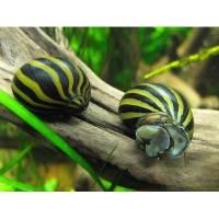 Улитка Неритина Зебра (Neritina natalensis Zebra), 2см