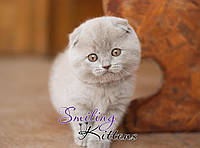Шотландские котята лилового окраса