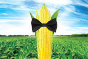 Семена кукурузы Syngenta СИ Респект ФАО 240