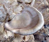 Мицелий Вешенки флоридской, Pleurotus ostreatus Florida