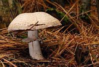 Мицелий Шампиньона лесного, Agaricus silvaticus