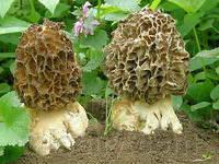 Мицелий Сморчка толстоногого, Morchella crassipes