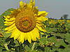 Семена подсолнечника Бонд