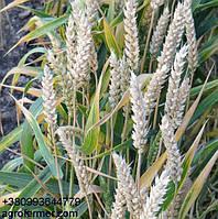 Семена пшеницы сорт FOX канадская трансгенная двуручка.