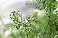 PUEBLO канадский трансгенный сорт кориандра двуручка.