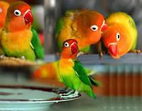 Неразлучник попугай фишер (Agapornis fischeri)