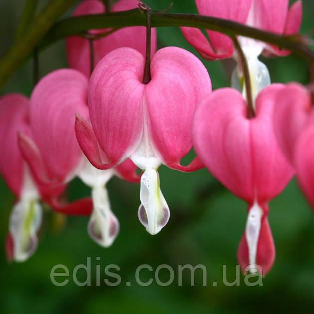 Дицентра великолепная Розовая (Разбитое сердце) корневище