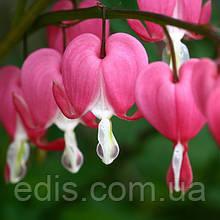 Дицентра чудова Рожева (Розбите серце) кореневище