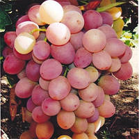 Виноград Ливия саженец