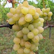 Обновлён ассортимент саженцев винограда
